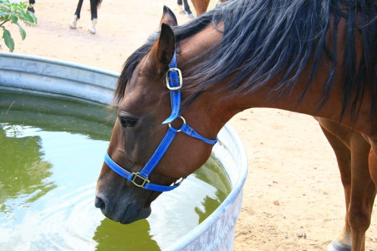 horse-drinking-water